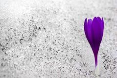 Fleur de neige Photos libres de droits