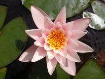 Fleur de Nenufar Images libres de droits