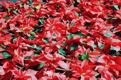 Fleur de Noël/Noël de poinsettia Photographie stock libre de droits