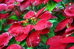 Fleur de Noël Photos stock