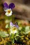 Fleur de Norvège Image libre de droits