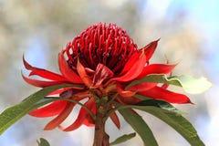 Fleur de NSW Waratah Photographie stock libre de droits