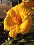 Fleur de nuit jaune Images stock
