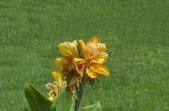 Fleur de fleur orange de canna dans le domaine Photographie stock