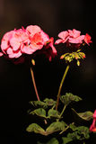 Fleur de pélargonium Photo stock