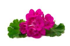 Fleur de pélargonium d'isolement sur le fond blanc Photographie stock libre de droits