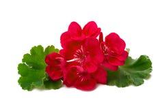 Fleur de pélargonium d'isolement sur le fond blanc Photos libres de droits