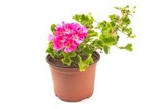 Fleur de pélargonium de géranium dans le pot d'isolement sur le blanc photos stock