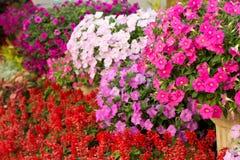 Fleur de pétunia Photos libres de droits