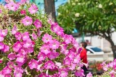 Fleur de pétunia Images libres de droits