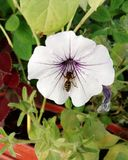 Fleur de pétunia Photos stock