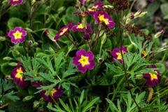 Fleur de pétunia Jardin de source Photos stock