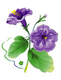 Fleur de pétunia, modèle de vecteur avec le fichier du vecteur ENV illustration libre de droits