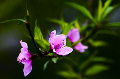 Fleur de pêche Images stock