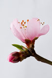 Fleur de pêche Image libre de droits