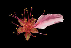Fleur de pêche Photographie stock libre de droits