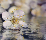 Fleur de pêche Photo libre de droits