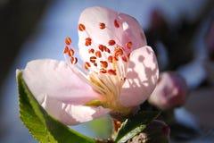 Fleur de pêche contre le ciel bleu Photographie stock