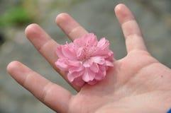 Fleur de pêche dans la main Image stock