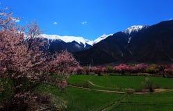 Fleur de pêche et montagnes couvertes par neige Photos libres de droits
