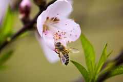 Fleur de pêche et une abeille Photo stock