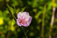 Fleur de pêche faisant face au soleil Images libres de droits