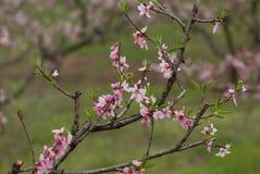 Fleur de pêche de mars Images stock