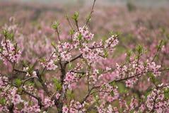 Fleur de pêche de mars Photographie stock libre de droits