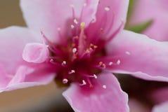 Fleur de pêche de mars Photos stock
