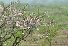Fleur de pêche de mars Photo libre de droits