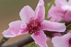 Fleur de pêche de mars Photo stock