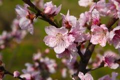 Fleur de pêche de mars Image stock