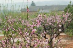 Fleur de pêche de mars Photos libres de droits