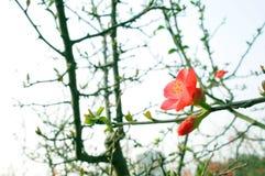 Fleur de pêche sur la branche images stock