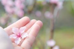 Fleur de pêche sur une main Photographie stock libre de droits