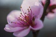 Fleur de pêcher Photographie stock
