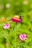 Fleur de paille de plan rapproché éternelle Photos libres de droits