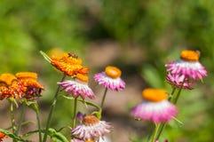 Fleur de paille de plan rapproché Image libre de droits
