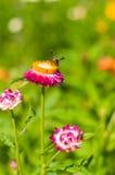 Fleur de paille de plan rapproché images stock