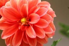 Fleur de paix Image stock