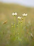Fleur de pallustris de Parnassia photos libres de droits
