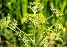 Fleur de panais dans le Pastinaca de fleur sativa Photographie stock libre de droits