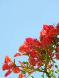 Fleur de paon Photographie stock