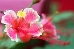 Fleur de paon (pulcherrima de Caesalpinia) Photos libres de droits