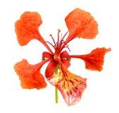 Fleur de paon rouge d'isolement sur le fond blanc Photo stock