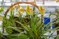 Fleur de Paphiopedilum, d'orchidée dans le jardin, fond de nature ou papier peint Image stock
