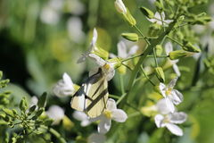 Fleur de papillon Images libres de droits