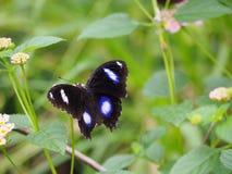 Fleur de papillon et de lantana Photo libre de droits