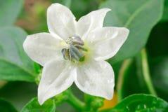 Fleur de paprika Photos stock