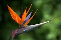 Fleur de paradis photographie stock